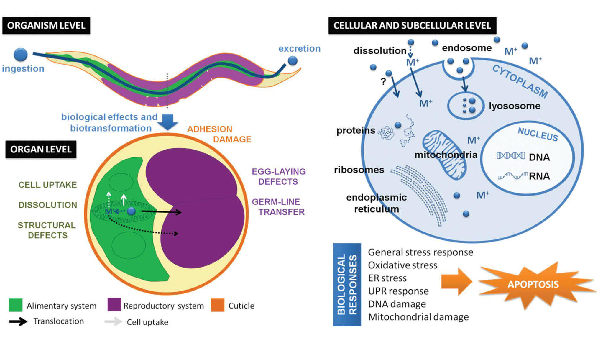 Materials and toxicological approaches to study metal and metal-oxide  nanoparticles in the model organism Caenorhabditis elegans
