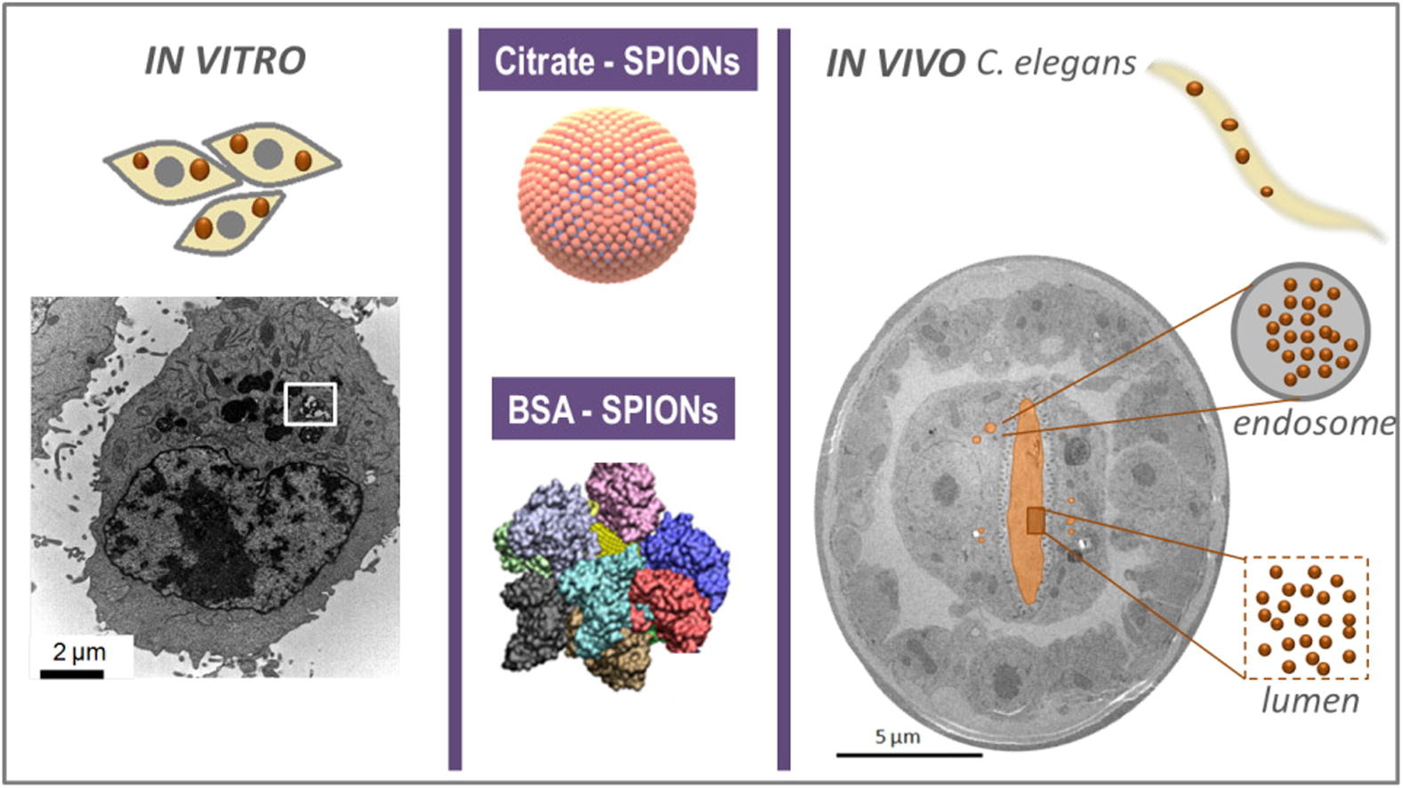 Bio-identity and fate of albumin-coated SPIONs evaluated in cells and by the C. elegans model
